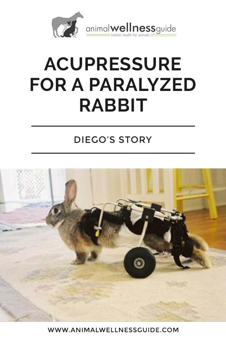 The story of a paralyzed rescue bunny and how his new owner used acupressure to make him more comfortable and increase his quality of life.