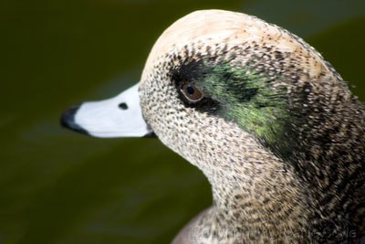 Massaging Ducks And Other Waterfowl