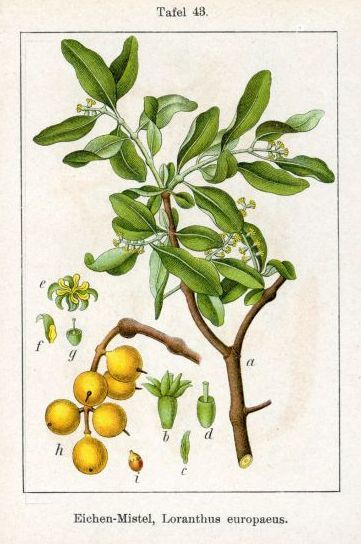 Alternative cancer treatments: Mistletoe
