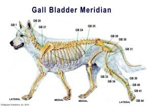 Canine acupressure points chart: Gall-Bladder-Meridian