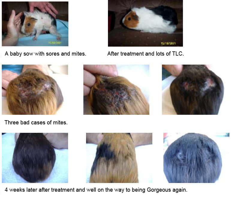 Aromatherapy for Guinea Pig skin problems | Animal Wellness Guide