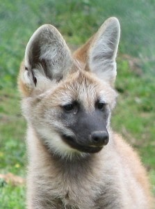 Brazilian maned wolf