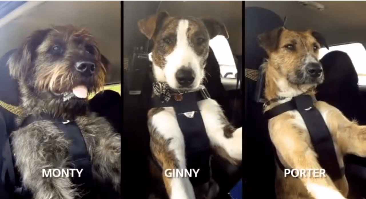 Shelter Dogs Learn To Drive To Show People Just How Smart