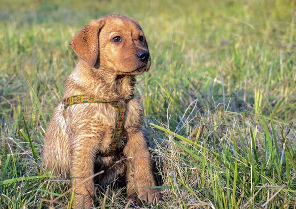 The Puppy's Environment And Canine Hip Dysplasia