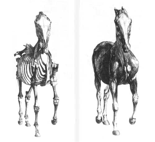 'Dem Bones 'Dem Bones: The Equine Skeleton
