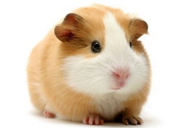 Trusting your intuition - Guinea pig