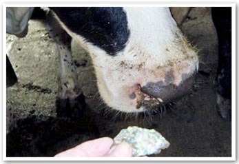 Crystal Healing For Cows