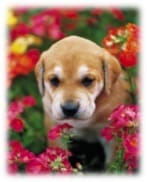 Flower essence: Puppy