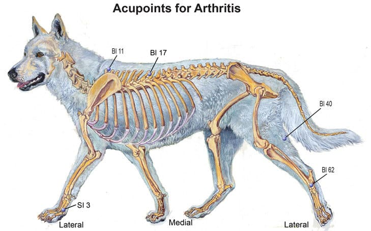 Acupressure Points For Canine Osteoarthritis