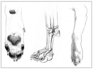 Canine-front-paw