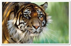 Who we are: Sumatran tiger