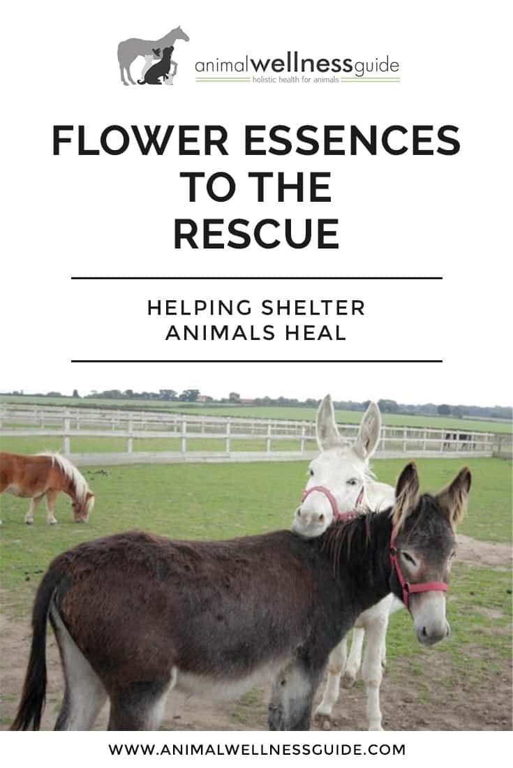 How flower essences can help with rejection, fear and anxiety in shelter animals and which flower remedies to use for specific emotional issues.