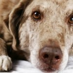 Portrait-Of-Older-Dog-featured-img