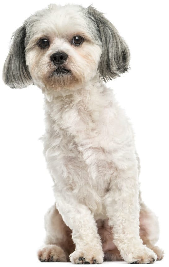 Shih-tzu - seizures in dogs