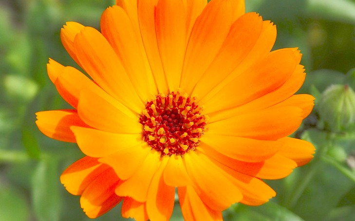 Calendula – A Must Have for Your Doggie First Aid Kit