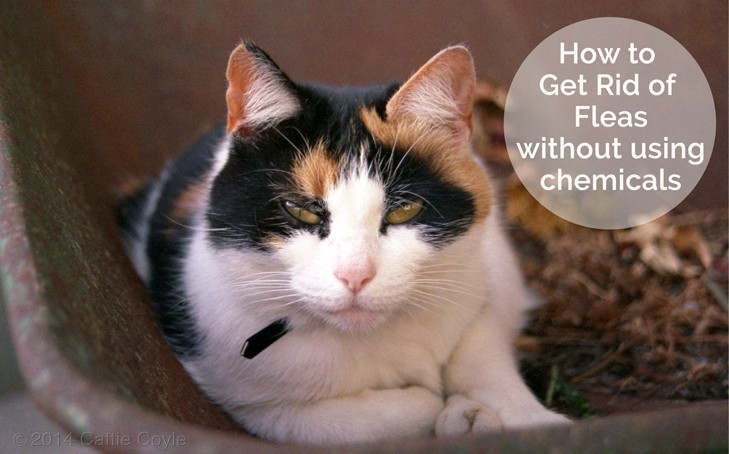 Q&A: How To Get Rid of Fleas