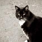 Feline-diabetes-feat-img