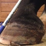Keeping Horse Hooves Healthy