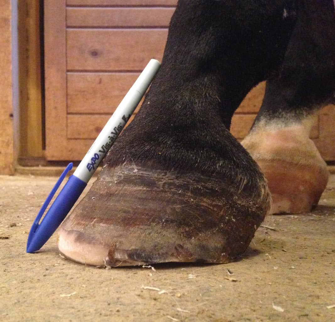 Q Amp A Keeping Horse Hooves Healthy Animal Wellness Guide