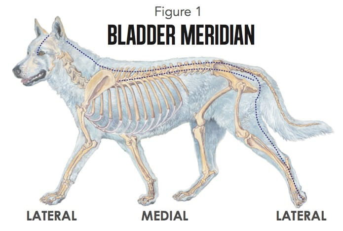 Canine Acupressure Bladder Meridian chart Animal Wellness