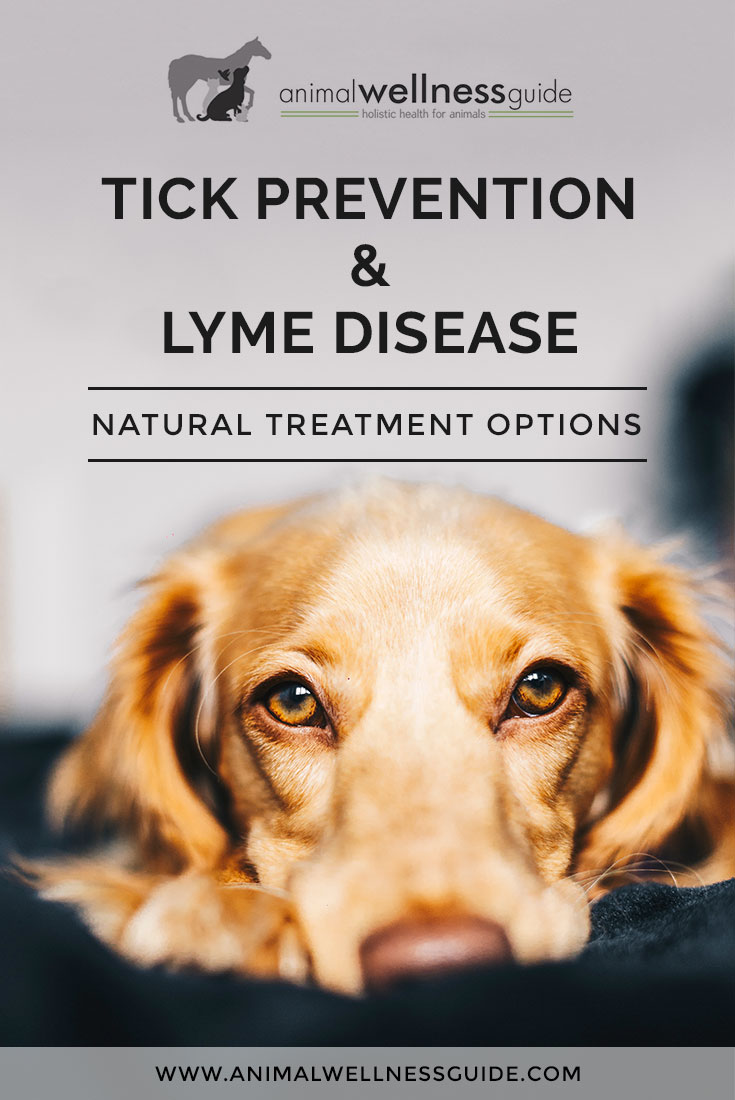Natural lyme disease treatment and prevention for both dogs and humans. In this Q&A, animal homeopath Shirley Moore shares tips on what she has found works both to help prevent ticks and to treat lyme disease.