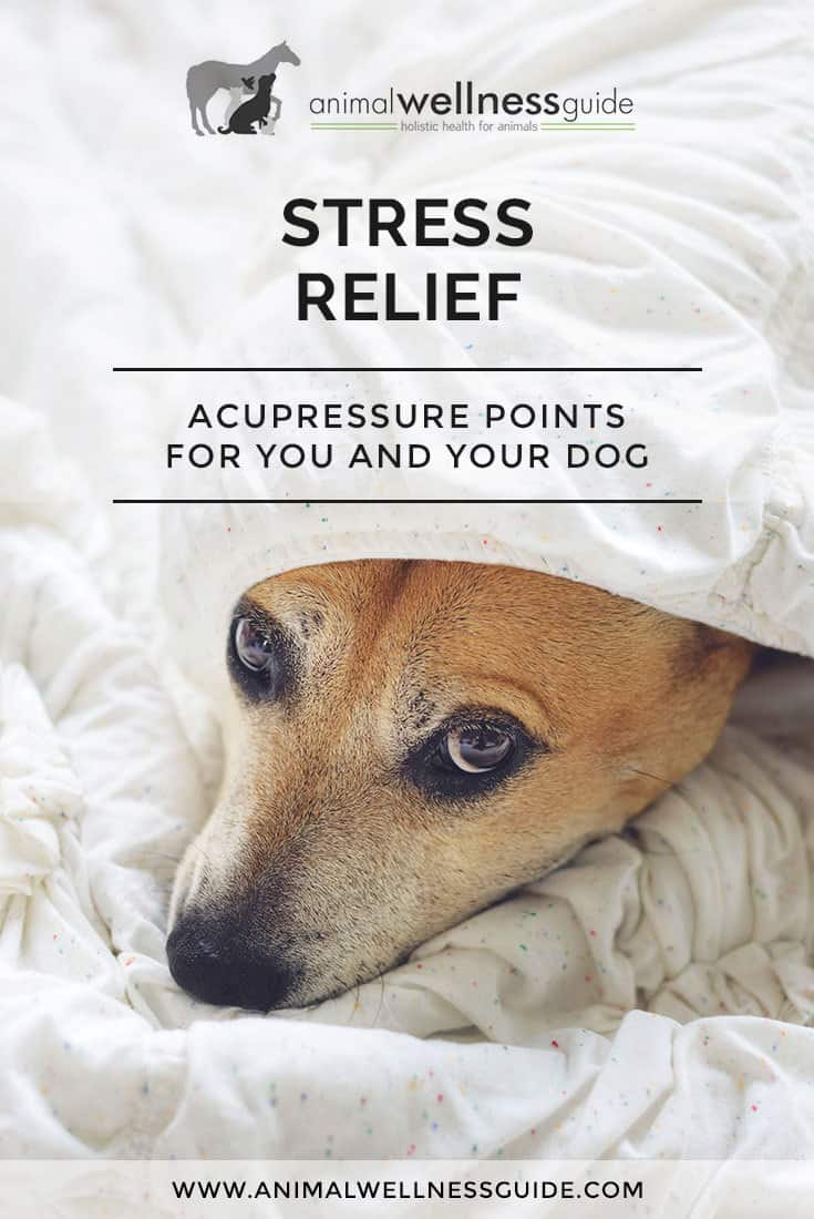 Is the holiday stress getting to you? How about the rest of the family? If you are feeling stressed, your dog is too. Dogs pick up their emotional cues from their humans. These acupressure points provide stress relief for both you and your dog.